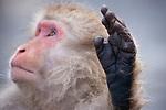Japan, Japanese Alps, snow monkey holding up hand