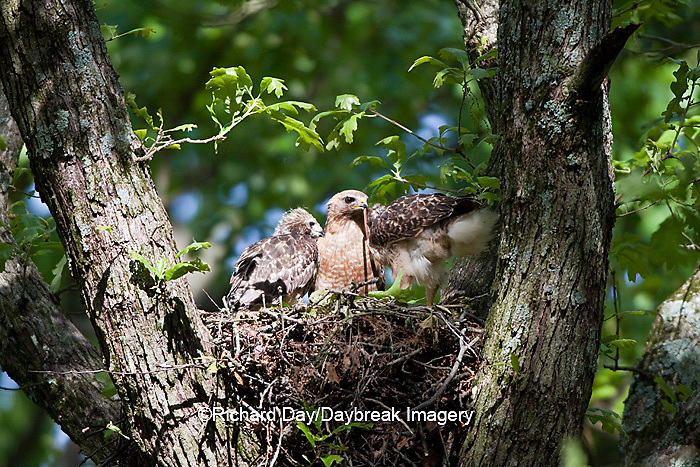 00794-00610 Red-shouldered Hawks (Buteo lineatus) adult and nestlings at nest, Marion Co., IL