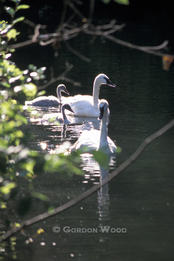 Swan family with strong backlight