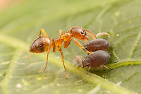 A Crazy Ant (Nylanderia flavipes) tends aphids (Aphis sp.) for their honeydew.