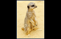 Meerkat (Suricata suricatta) - Zoological Society of London - 16th Jun 2003