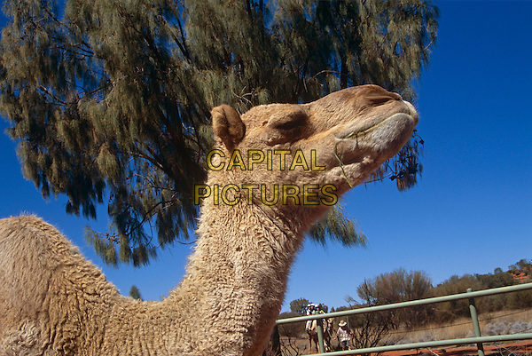 Camel, Mount Uluru, Ayers Rock, Kata Tjuta National Park, Northern Territory, Australia