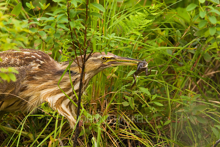 American Bittern like to eat small frogs on a remote pond in Maine.