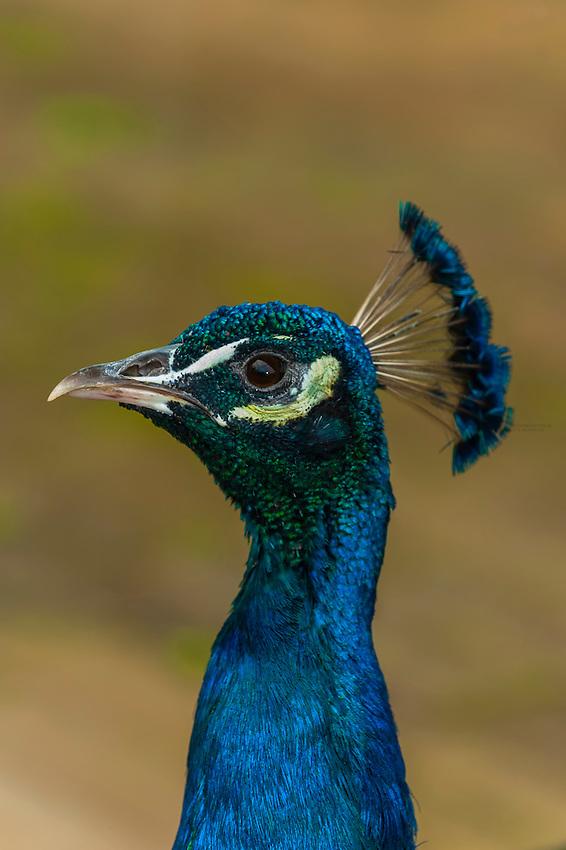 Peacock, Taronga Zoo, Sydney Harbor, Sydney, New South Wales, Australia