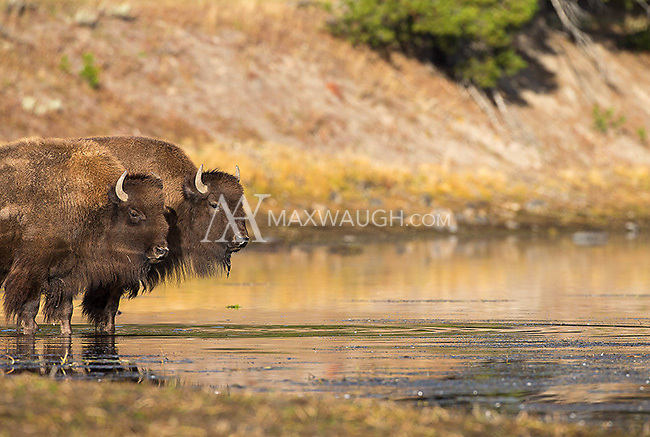 A herd of bison crossed the Yellowstone River early one morning.