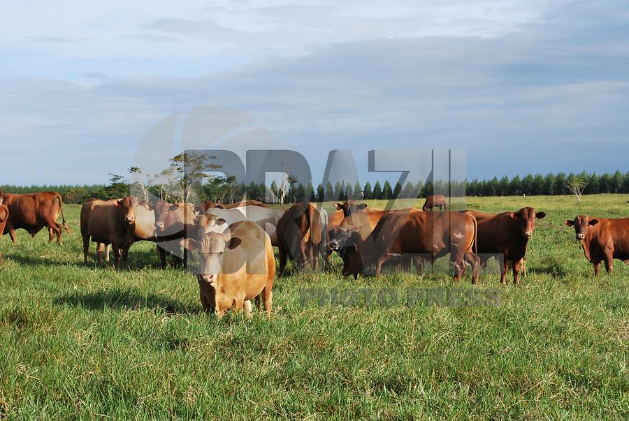 EUNÁPOLIS, BA, 08.06.2009 - GADO - imagem de arquivo de Gado da raça Red tap da fazenda Gameleira na cidade de Eunápolis (Sul da Bahia). (Foto: Joá Souza / Brazil Photo Press).