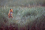 Red Fox standing in grass.