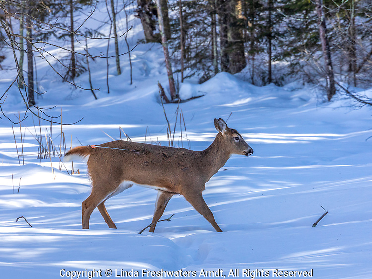 Young white-tailed buck with an arrow stuck in his side.