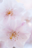 A close up of the delicate petals and stamens of Japanese sakura cherry blossoms.