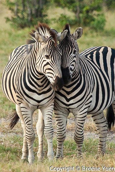 Zebras nuzzle together, Chobe National Park, Botswana, April 2008