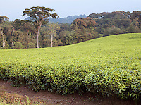 A tea plantation in Nyungwe National Park, Rwanda