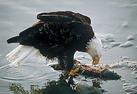 Bald Eagle (Haliaeetus leucocephalus) feeding on salmon along edge of river.  Pacific Northwest.  Winter.