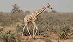 Kouré (Koure)-Niger, March 25, 2012 -- One of the last giraffes in West Africa - a population of about 400 lives in last self-sustaining families in a protected area / parc near Kouré, in southwest Niger -- Photo © HorstWagner.eu