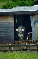 Cow venturing outside cow byre, Imst,Tirol,Austria.