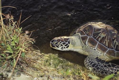 Sea turtle- Green turtle (Chelonia mydas) in water in Grand Cayman Islands