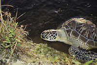Sea turtle- Green turtle (Chelonia mydas) in water in Grand Cayman Islands