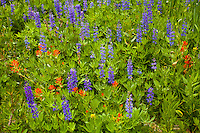 Lupines and Paintbrush, Mono Pass Trail, Yosemite