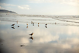 USA, Washington State, Long Beach Peninsula, International Kite Festival, seagulls walk along the tideline at sunset