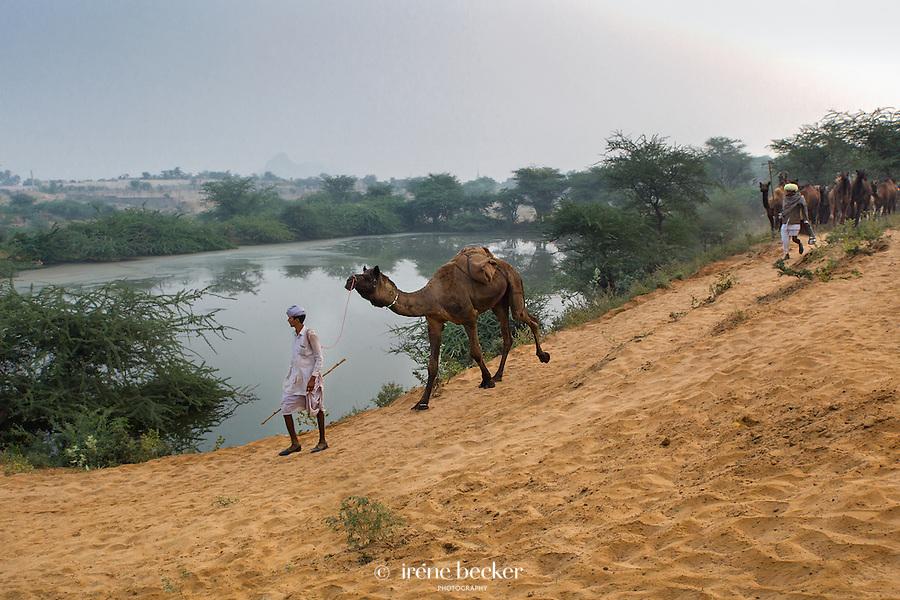 Camels arriving at Pushkar Fair in early morning. Rajashan, India.