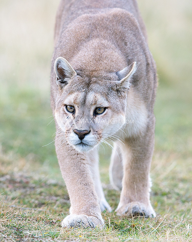 We were fortunate to see 19 different pumas during this photo tour, including multiple encounters with a number of them.  This female approached our group within 15 minutes of our initial entry into the national park.  She walked within ten feet.