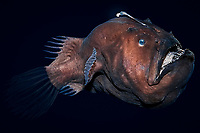 deep-sea anglerfish, doublespine seadevil or black seadevil, Diceratias pileatus, uses bioluminescent lure to attract prey in the deep ocean; brought up from a depth of 3,300 feet (1000m) in a water intake pipe at Natural Energy Lab of Hawaii (NELHA), Keahole, Kona, Big Island, Hawaii, USA, Pacific Ocean (c) (dm)