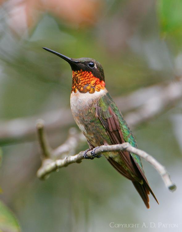 Adult male ruby-throated hummingbird on twig