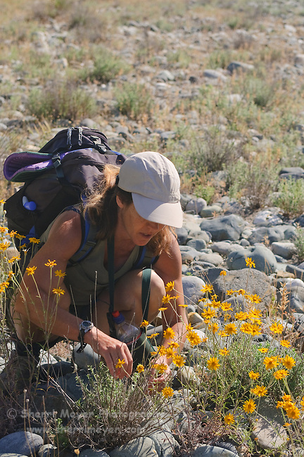 Hiker checking out the wildflowers, along the North Fork of the American River, Weimar, California.
