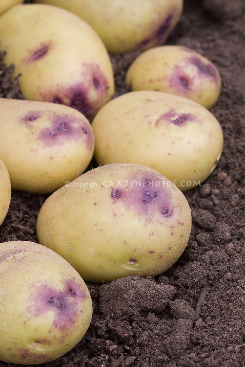 Potatoes Catriona yellow with blue eyes
