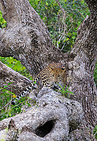 TX0257-Dv. Sri Lankan Leopard (Panthera pardus kotiya) in a tree. The top predator on the island, it is a stealth hunter most active at night. Feeds on deer, monkeys, birds, reptiles and boar. Sri Lanka is considered one of the best places in the world to see the reclusive leopard. It is classified as endangered, with less than 1000 individuals estimated in the wild. Wilpattu National Park, Sri Lanka. Cropped to vertical from native horizontal format.<br /> Photo Copyright © Brandon Cole. All rights reserved worldwide.  www.brandoncole.com