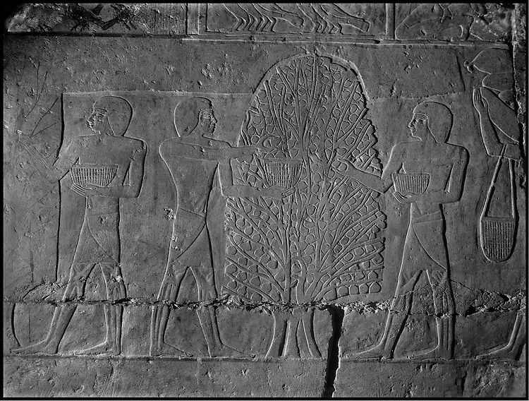The people of the Ancient Empire...Picking fruit, tomb of Nefer-her-Ptah (Vth dynasty).....TAIEB HASSABOLLAH/COLLECTION PATRICK CHAPUIS-PHILIPPE FLANDRIN
