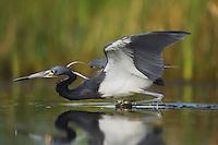 Tricolored Heron (Egretta tricolor), adult fishing, Sinton, Corpus Christi, Coastal Bend, Texas, USA
