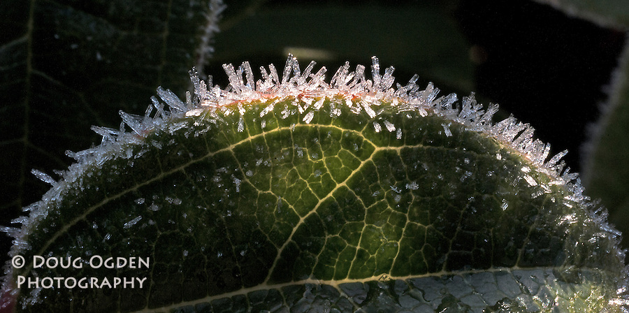 Horizontal of Ice Crystals on a leaf with veins