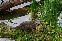 Northern River Otter pup (Lontra canadensis).  Western U.S., June.