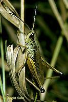 OR01-003a  Grasshopper - slant faced meadow locust - Chorthippus curtipernis