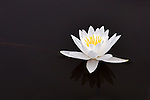 A fresh white Fragrant Water Lily floats upon a naturally dark water background with just a stem keeping it in frame.