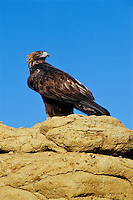 Golden Eagle (Aquila chrysaetos) resting atop sandstone cliff, Western U.s.