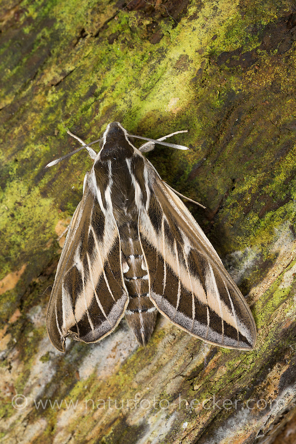 Linienschwärmer, Linien-Schwärmer, Hyles livornica, Celerio lineata, striped hawk-moth, Le Sphinx livournien, Schwärmer, Sphingidae, hawkmoths, hawk moths, sphinx moths, sphinx moth, hawk-moths, hawkmoth