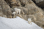 Mountain Goat family along the slopes of Glacier NP