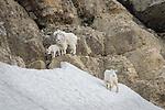 Mountain Goat family along the slopes of Glacier NP