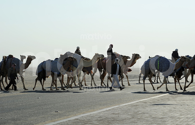 Kamelrennen Doha  12.01.2011 Training Kameltreiber ueberquert die Strasse mit  ihren  Dromedaren auf dem Weg zur Rennbahn bei Doha.