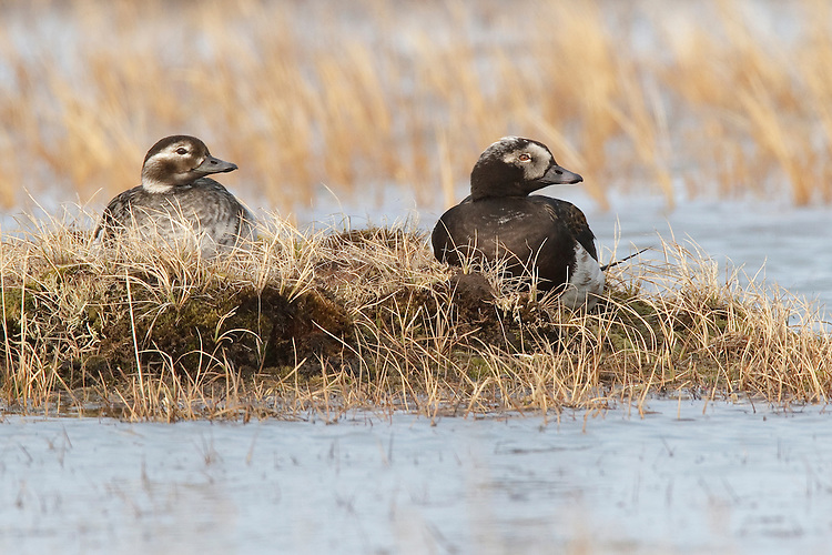 Long-tailed Duck - Clangula hyemalis - breeding pair