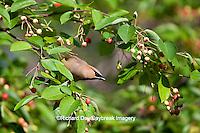 01415-02906 Cedar Waxwing (Bombycilla cedrorum) in Serviceberry Bush (Amelanchier canadensis), Marion Co., IL
