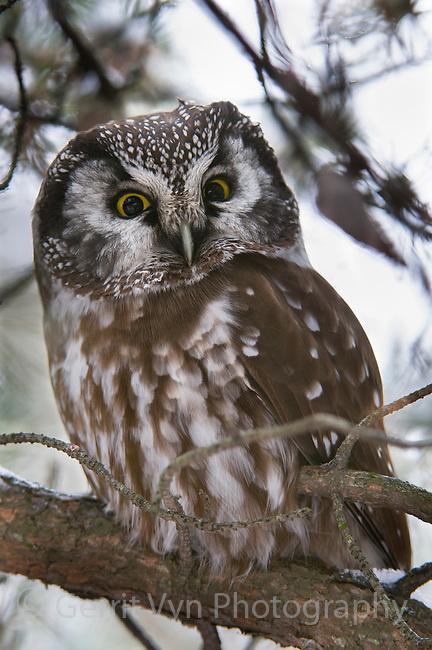 Adult Boreal Owl (Aegolius funereus) roosting in a Jack pine. Ontario, Canada. December.