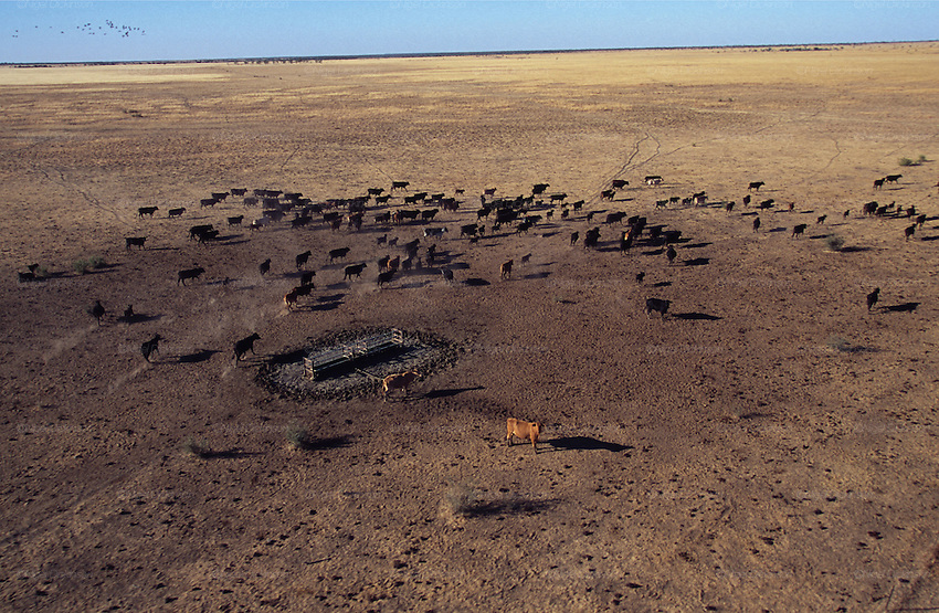 Australia, Queensland. Cattle in huge 'stations', ranches of millions of hectares. 2001.'MEAT' across the World..foto © Nigel Dickinson