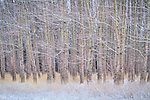 A grove of leafless trees create an interesting texture in a winter landscape.