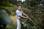 MONTEVERDE, COSTA RICA- JANUARY 7, 2009:  Guillermo Vargas picks coffee at his family's fair trade coffee cooperative farm on January 7, 2009 in Santa Elena, Costa Rica.    (Photo by Michael Nagle)