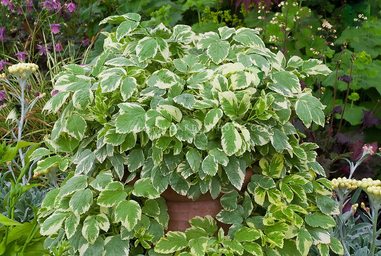 Aegopodium podagraria 'Variegatum' in pot container, invasive plant needs to be contained