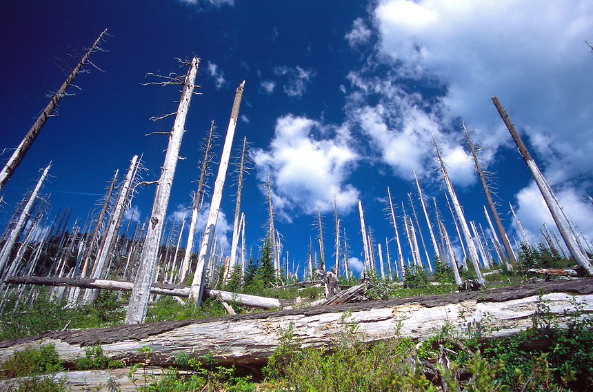 Standing Dead and Downed Trees from 1980 Eruption, Mt. St. Helens National Volcanic Monument, Washington, US, July 2004