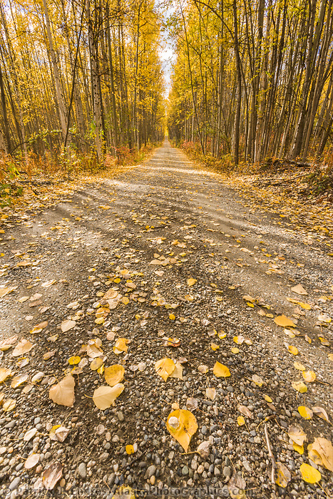 Autumn driveway through the boreal forest of birch and aspen trees, Fairbanks, Alaska