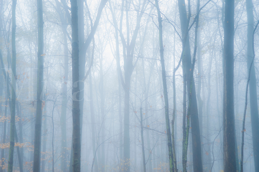 Moody mist decends on forest trees.